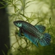 picture of Betta mahachaiensis