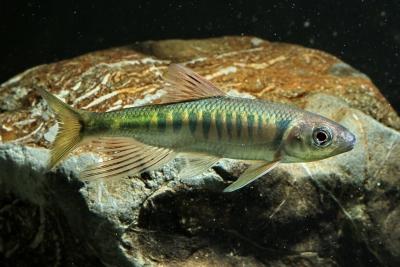 Opsariichthys evolans Cyprinidae