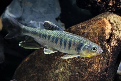 Opsariichthys kaopingensis Cyprinidae