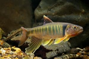 Opsariichthys pachycephalus