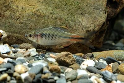 Tanakia himantegus Cyprinidae