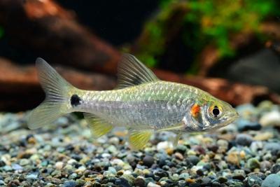 Puntius sophore Cyprinidae