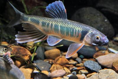 poisson dragon Cyprinidae