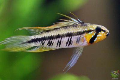 Apistogramma gibbiceps Cichlidae