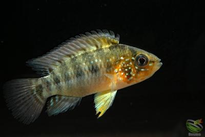 Apistogramma alacrina Cichlidae