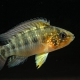 picture of Apistogramma alacrina