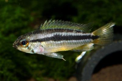 Apistogramma bitaeniata Cichlidae