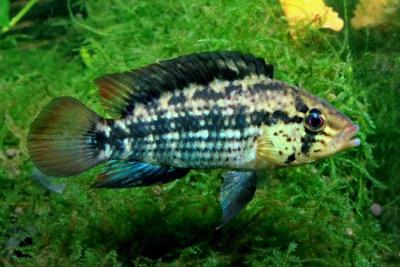 Apistogramma kullanderi Cichlidae
