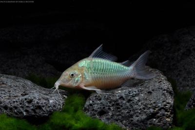 poisson chat emeraude Callichthyidae