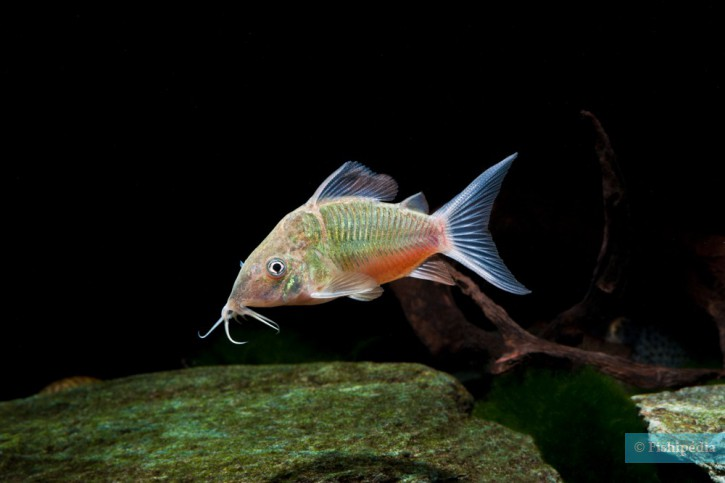 Brochis splendens - poisson chat emeraude