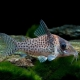 picture of Corydoras agassizii