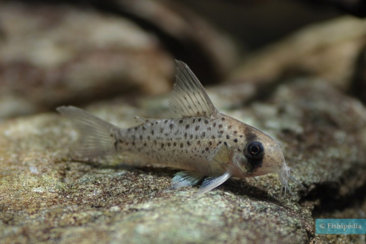 Corydoras atropersonatus
