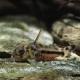picture of Corydoras boesemani