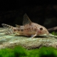 picture of Corydoras diphyes