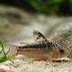 picture of Corydoras elegans