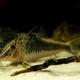 picture of Corydoras fowleri
