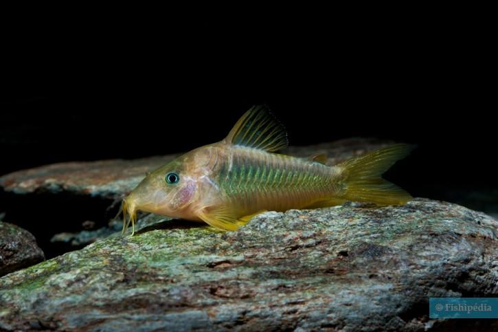 Corydoras melanotaenia