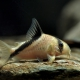 picture of Corydoras melini