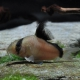 picture of Corydoras metae