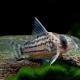 picture of Corydoras schwartzi
