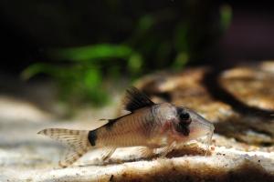 Corydoras simulatus