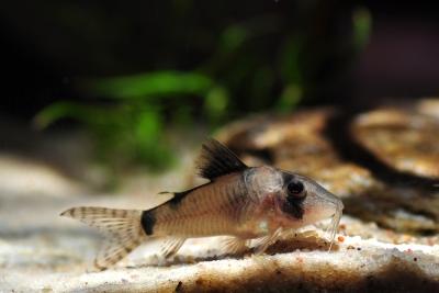 Corydoras simulatus Callichthyidae