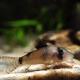 picture of Corydoras simulatus