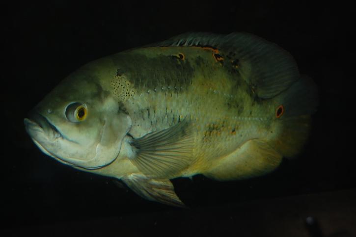 Astronotus ocellatus - oscar