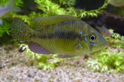 Gymnogeophagus meridionalis Cichlidae
