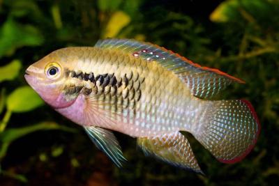 Laetacara dorsigera Cichlidae