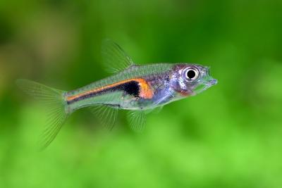 Trigonostigma hengeli Cyprinidae