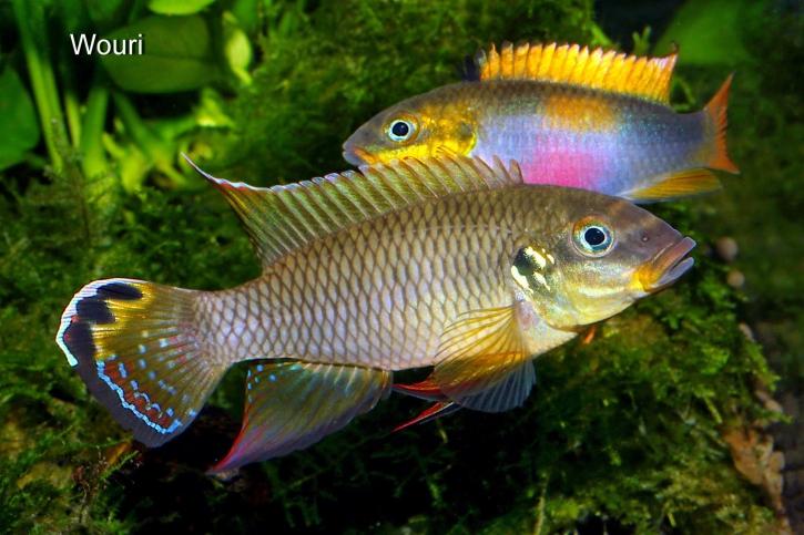 Pelvicachromis drachenfelsi