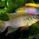 picture of Pelvicachromis drachenfelsi