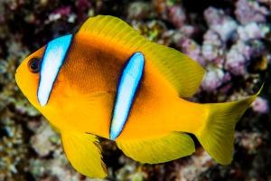 poisson-clown à deux bandes