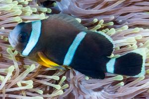Amphiprion chrysogaster