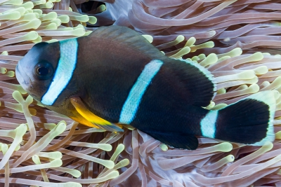 poisson-clown de Maurice Pomacentridae