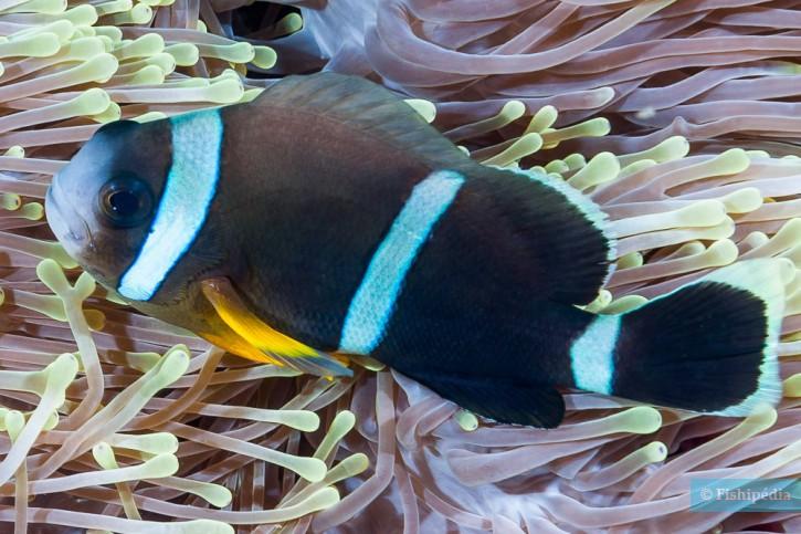 Amphiprion chrysogaster - poisson-clown de Maurice