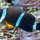 picture of Amphiprion chrysogaster