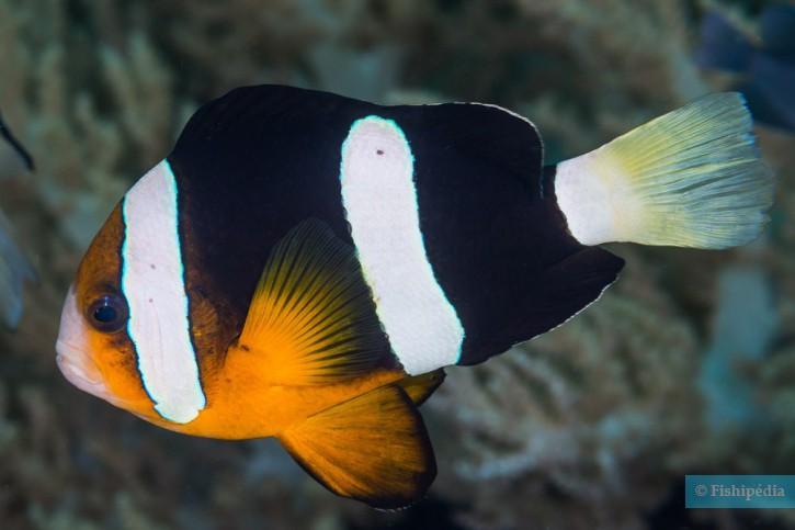 Amphiprion clarkii - poisson-clown de Clark