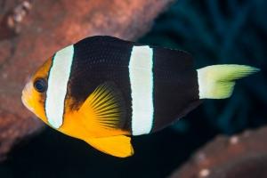 Poisson-clown à deux bandes - Amphiprion bicinctus - Poisson clown ... bc93f17faa8