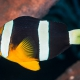picture of Amphiprion clarkii