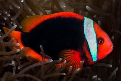 poisson-clown rouge Pomacentridae