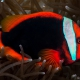 picture of Amphiprion frenatus