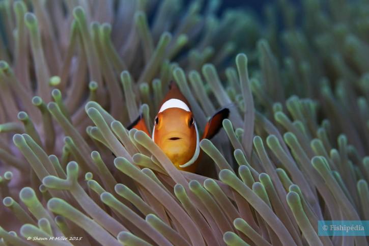 Amphiprion ocellaris - poisson-clown (némo)