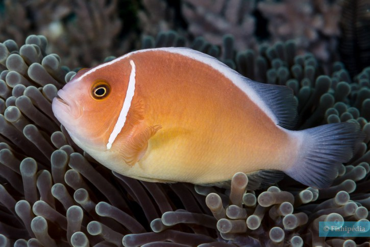 Amphiprion perideraion - poisson-clown rose