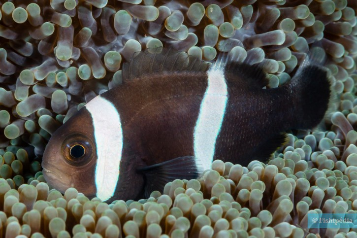 Amphiprion polymnus - poisson-clown à selle de cheval