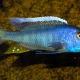 picture of Buccochromis spectabilis