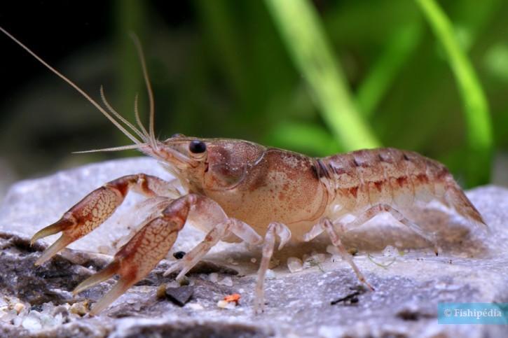 Cambarellus patzcuarensis - écrevisse CPO