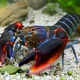 picture of Cherax peknyi Fire claw