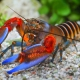 picture of Cherax peknyi blue Claw